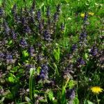 Badergarten Blumenrasen, kriechender Günsel